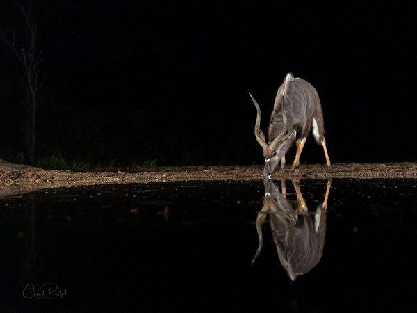 Nyala Reflected