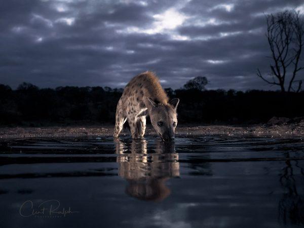 Hyena in the stormy night