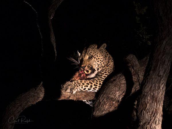Leopard feast