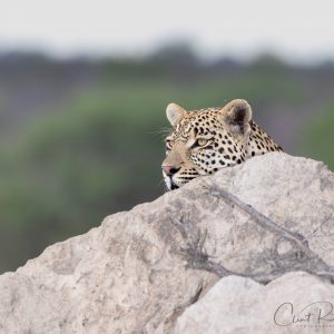 Leopard & the Gnat