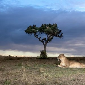 Lion Preparations