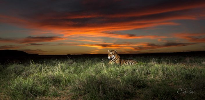 Bengal Tiger and the Red Sky
