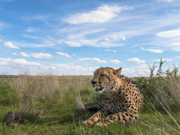 Tiger Canyon Cheetah