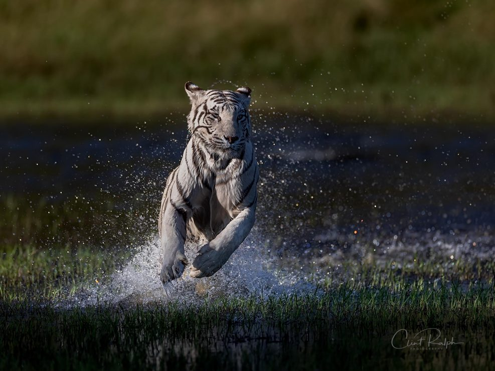 White tiger charge