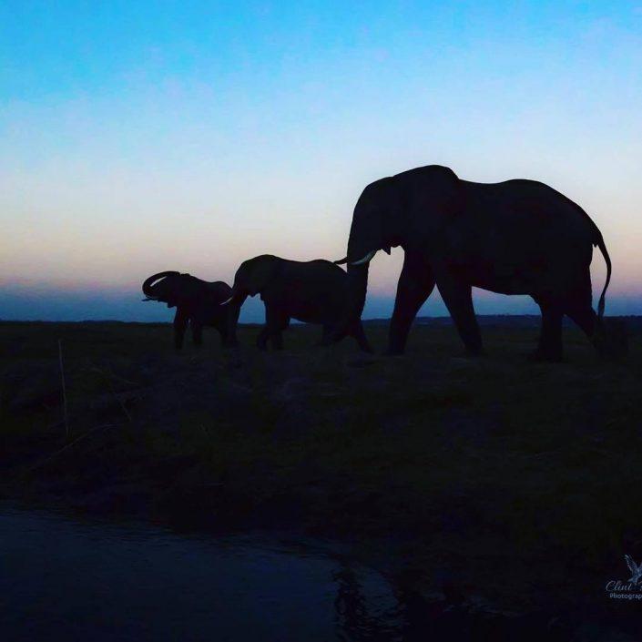 Chobe Giants