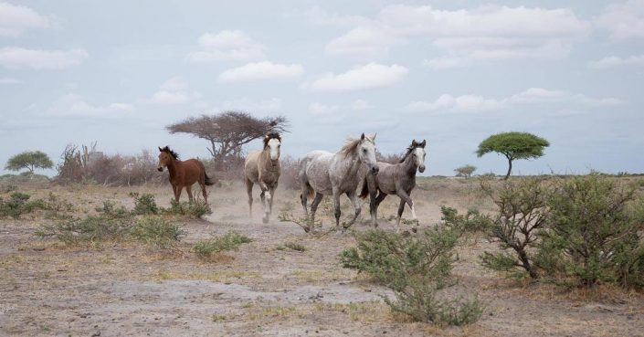 Wild Horses of Botswana