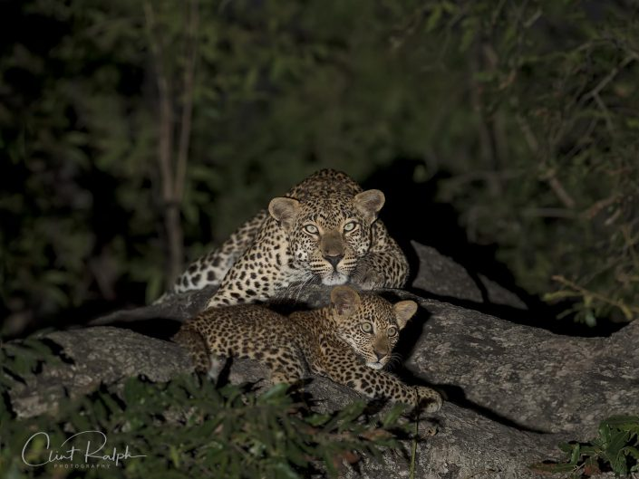 Leopard Mother watches over Cub