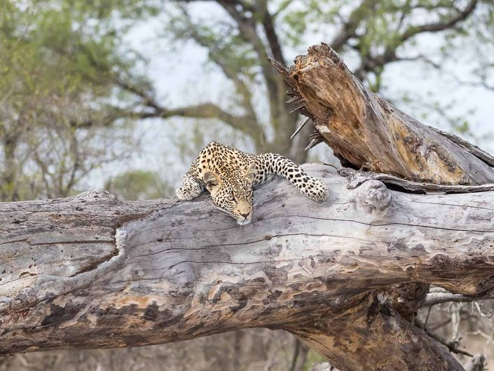 Leopard and the fallen tree
